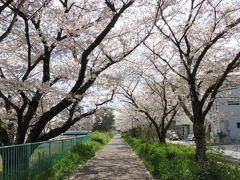 2017春、天白川の桜と草花(1/5):天白川の堤防道路、満開と、散り始めの染井吉野、八重紅枝垂れ桜、雪柳