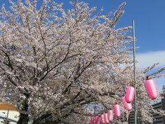 2017春、天白川の桜と草花(2/5):染井吉野、雪洞、雪柳、蒲公英、連翹、木瓜、八手の実、蔓日日草、オキザリス