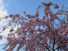 2017春、天白川の桜と草花(4/5):染井吉野、紅八重枝垂れ桜、チューリップ、雪柳、木瓜、椿、クリスマスローズ