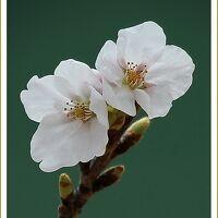 Solitary Journey[1891]春景色満開です♪桜を愛でながらのウォーキング<太田川沿いの桜並木&比治山公園の桜&呉音戸の桜>広島市中区