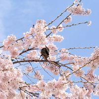 """咲いた!咲いた!桜が咲いた(*゚▽゚*) 咲いた桜を追いかけてーその2 南信州 美しい時 輝きの瞬間(とき)飯田市 """"舞台桜と石塚桜""""を訪ねました。"""