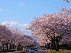 桜を求めて④~艶やかな桜のトンネル(大田原市野崎工業団地)