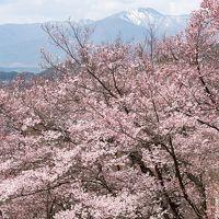 2017 天下第一の桜 高遠小彼岸桜