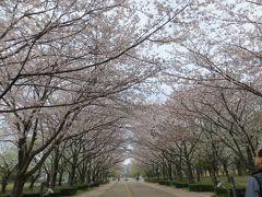 桜の美しい穴場の公園 柏の葉公園
