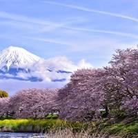 山梨と静岡の桜の旅(静岡)