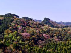 大分川ダムの山桜