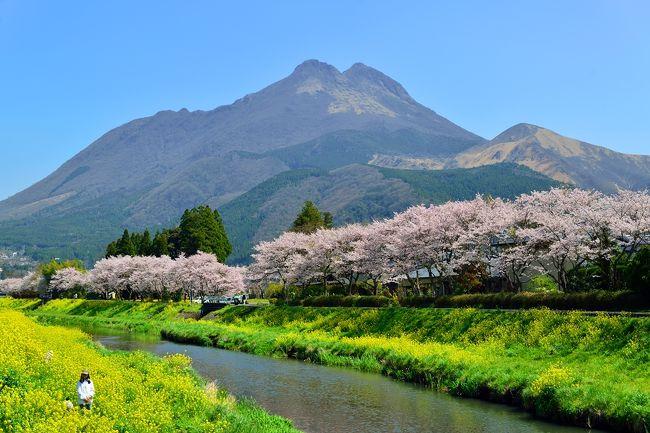 由布院では、由布岳をバックに大分川に咲く桜と菜の花のコラボを楽しみます。