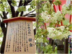 造幣局 通り抜け   今年の花は「鬱金(うこん)」  薄ぃ黄緑色の桜に.:*萌え~*・*