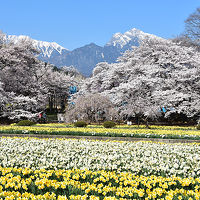 花満開の山梨巡り 神代桜とワニ塚の桜と笛吹の桃源郷