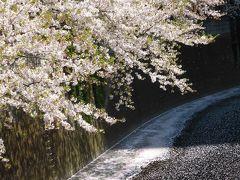 ぎりぎり見ごろに間にあった♪~2017.4.14~桜吹雪の目黒川
