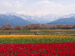 富山旅01 朝日町舟川べりの桜 春の四重奏
