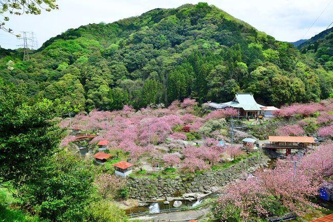 今年の桜は、山桜、染井吉野、八重桜が一気に開花し、見る方も息がつけません。<br /> そんななか、九州最多と言われる一心寺の八重桜を見に出かけました。