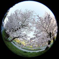 登り尾 と近所の桜