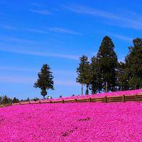 秩父の羊山公園2017年4月20日~芝桜を見てきました~