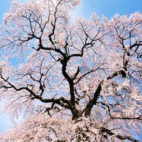 今日の天気予報は晴れ! やっぱり 桜は青空に映えます