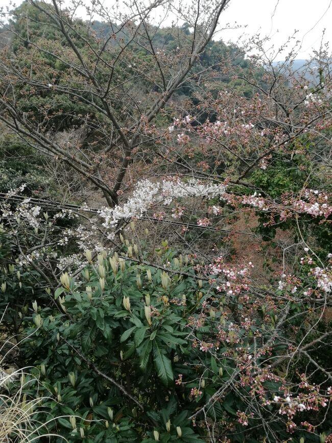 先月、ほぼ葉桜だった糸川桜まつり2017を反省して(笑)<br />http://4travel.jp/travelogue/11223823<br />2か月連続の熱海です、泊りはいつものアタミシーズンホテルです。 <br />と、と、ところが!<br />ソメイヨシノは、ようやくちらりほらり(^-^;<br />こっちは早過ぎた!!!がび~~ん<br /><br />高齢の両親、長男家族との4世代旅行vol.2です。<br />vol.1はhttp://4travel.jp/travelogue/11135308<br /><br />息子家族は1泊 両親と私は2泊の旅程です。<br /><br />実に何の代り映えもないチープな家族旅行です。<br />熱海ヘビーリピートと(しかもアタミシーズンホテルだけ)いうことで備忘録にしています。<br /><br />表紙の写真は熱海ロープーウエイ山頂のソメイヨシノ
