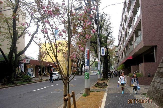 今年のたまプラーザ「桜フェスティバル」は3月18日から4月2日まででした。しかし今年のソメイヨシノの開花が遅れ、満開になったのは4月5日~10日でした。<br />ソメイヨシノの開花状況と、たまプラーザ駅前桜並木再生計画で新たに植えられたアマノガワ、カンザンなどの開花状況を観察してきましたので、紹介します。<br /><br />写真は、今年植えられて、開花したカンザンを4月17日に撮影したものです。<br />