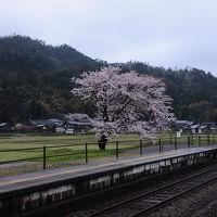桜咲く天橋立へ【1】~竹野海岸で猫に会う~