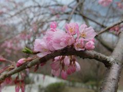 2017春、奈良県の桜巡り(1/10):4月15日(1):高見の郷(1/3):まだ蕾の高見の郷の枝垂れ桜、奈良の染井吉野は満開