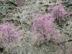 2017春、奈良県の桜巡り(3/10):4月15日(3):高見の郷(3/3):登りは小型バス、急斜面を歩いて下山、宇陀の又兵衛桜見学へ