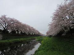 2017年4月8日:桜満開の野川大沢橋から細田橋まで散策 & 調布農産物直売所