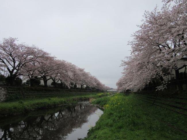 東京都の一級河川「野川」・・・<br />と言っても有名な「多摩川」と比べると小さな小さな川です。<br />その流れは国分寺市から始まり世田谷区の二子多摩川で多摩川に合流します。<br /><br />私の地元である上流域の小金井市付近は20年程前に遊歩道等を整備し良い散歩コースとなりました。<br />樹齢20年程度の、やや若いソメイヨシノが満開です<br /><br />中流域の調布市内に目を移すと、河川整備はもっと昔に執り行われ、大樹となったソメイヨシノが咲き乱れています。<br /><br />照明機材などを扱うアーク・システムさんやボランティアの方々の協力のもと、1年に1日だけ「野川桜ライトアップ」が開催され一夜で数万人が訪れる程、見事な桜があります<br /><br />今回天候は今一つではありましたが、その見事な桜の昼間の姿をあらためて見たく、調布市の御塔坂橋から細田橋まで野川沿いを散策しました。<br />上流域の西之橋辺りの比較的若々しい桜も見事でしたが、御塔坂橋から細田橋までの(表現は変ですが)円熟した桜は大変見事でした。 <br /><br /><br />※つたない文章&写真ではありますが、是非最後までお付き合いください