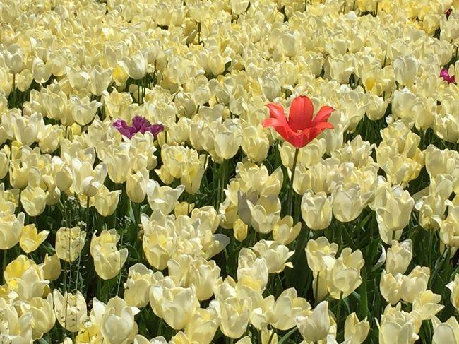 チューリップ満開の噂を聞いて<br />行ってきました「なばなの里」<br />咲いた咲いたチューリップの花が<br />並んだ並んだ赤白黄色<br />どの花みてもきれいだな(*^-^*)<br />写真はどこをどう撮っていいかわからないほどチューリップ咲きまくり~<br />テキトウにミラーレスとスマホで撮ってきました<br />