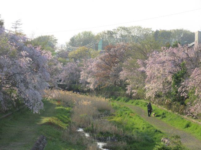 2017年4月16日:ソメイヨシノの次は枝垂れ桜!! 満開の野川中前橋から武蔵野公園西端の小金井新橋まで散策