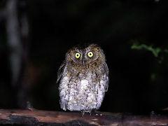 野鳥撮影記録(2017年4月)石垣島2日目後編