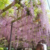 隠れ藤の名所、大阪市福島区のノダフジ巡り!