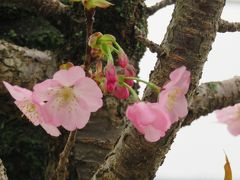 2017春、静岡県の桜巡り(5/13):4月9日(5):国立遺伝学研究所構内(2/6):300種類余の桜見本樹