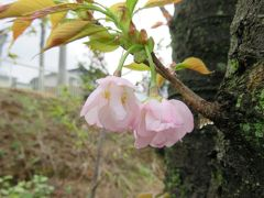 2017春、静岡県の桜巡り(6/13):4月9日(6):国立遺伝学研究所構内(3/6):300種類余の桜見本樹