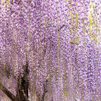 初日快晴で始まった最長9連休ゴールデンウィークも 予定無し・・・゚゚(´O`)°゚・・・・・・・・・近場の亀戸天神の藤を見に行く
