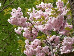 晩春の八重桜の彩る新宿御苑 2017(新宿)