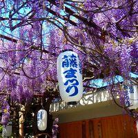 熊野街道信達宿に咲く野田藤
