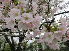 2017春、静岡県の桜巡り(7/13):4月9日(7):国立遺伝学研究所構内(4/6):300種類余の桜見本樹