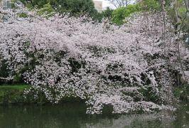 2017春、静岡県の桜巡り(10/13):4月9日(10):三島大社境内(1/4):染井吉野、八重紅枝垂れ、紅枝垂れ