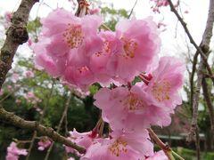 2017春、静岡県の桜巡り(13/13):4月9日(13):三島大社境内(4/4):染井吉野、八重紅枝垂れ、紅枝垂れ
