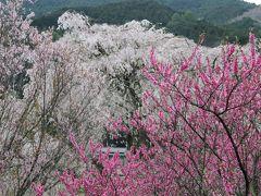 2017春、奈良県の桜巡り(5/10):4月15日(5):又兵衛桜(2/3):スイセン、菜の花、ハクモクレン、馬酔木