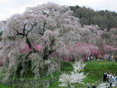 2017春、奈良県の桜巡り(6/10):4月15日(6):又兵衛桜(3/3):スイセン、菜の花、紅枝垂れ桜、滝谷しょうぶ園へ