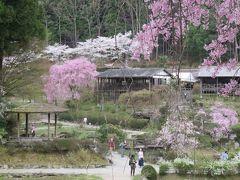 2017春、奈良県の桜巡り(9/10):4月15日(9):花の郷・滝谷(3/4):八重紅枝垂れ桜、ショウジョウバカマ、山吹、山茱萸