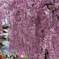 #東北で良かった!福島県喜多方市日中線の満開のしだれ桜に感動しました。その1