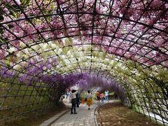 2017年5月 福岡・北九州市 河内藤園で見頃の藤を見ました。