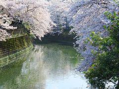 桜満開の大岡川プロムナードと横浜みなとみらいの夕景