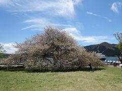 箱根に一本桜見に出かけました