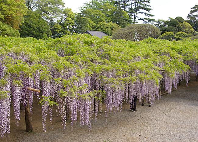 存在は知っていたけれど、一度も見たことがない牛島の藤。<br />足利フラワーパークのような規模ではないが綺麗だとは聞いていたのだけれど。<br />ふと思い立って訪れてみることにしたのでした。<br /><br />牛島の藤(藤花園)<br />http://www.ushijimanofuji.co.jp/<br /><br />駅前の地図によると徒歩10分くらい。<br />この時期は道なりに人もいるし、案内看板が置いてあるので迷うことはありませんでした。<br />園内は軽食がとれるテラスやお土産屋、トイレがありました。<br />9時くらいに到着しましたが、なかなかの人出。<br />時間が経つとどんどん人が増えていきました。<br /><br />旅のメモはこちらから<br />藤の牛島に牛島の藤を見に行く<br />https://chabatatsu.hatenablog.com/entry/2017/05/05/233000