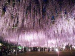 '17 GW群馬・栃木 花&城さんぽ3 大藤の咲く足利フラワーパーク