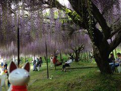 今年も藤の花を見に。今度は兵庫県の丹波の白毫寺