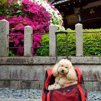 しょーきちさん 新緑とお花いっぱいの京をいく