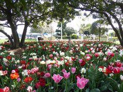 春爛漫の優雅な横浜♪ Vol24 ☆山下公園 木の下のチューリップ♪